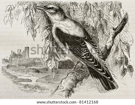 Old illustration of Golden Oriole (Oriolus oriolus). Created by Kretschmer and Wendt, published on Merveilles de la Nature, Bailliere et fils, Paris, 1878