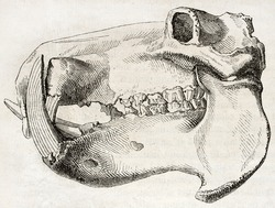 Old illustration of Hippopotamus skull. By unidentified author, published on Magasin Pittoresque, Paris, 1850