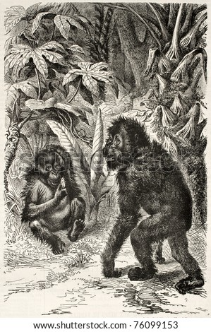Old illustration of Orangutan. Created by Ktreschmer and Brockhaus,  Extracted from La Vie des Animaux Illustrée (Baillière et fils ed.), published on L'Illustration, Journal Universel, Paris, 1868