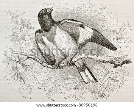 Old illustration of Rose-breasted Gorsbeak (Pheucticus ludoviciabus). Created by Kretschmer and Niedermann, published on Merveilles de la Nature, Bailliere et fils, Paris, 1878