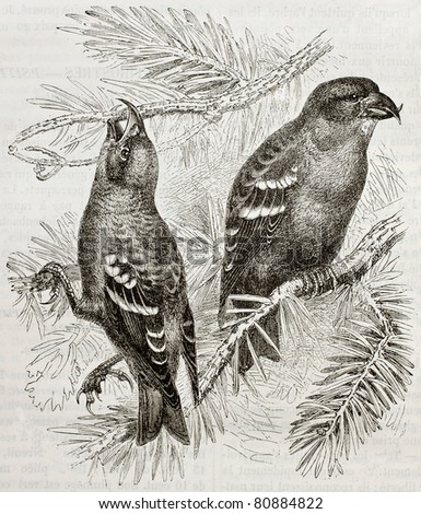 Old illustration of Two-barred Crossbill (Loxya leucoptera). Created by Kretschmer and Wenot, published on Merveilles de la Nature, Bailliere et fils, Paris, 1878