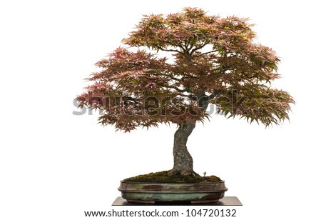 Old japanese maple tree as bonsai is white isolated - stock photo