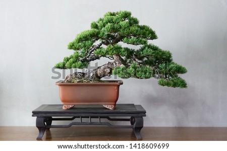 Old Japanese white pine bonsai for show Photo stock ©
