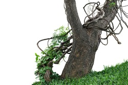 Old jungle tree trunk with climbing vines twisted liana plant and green leaves creeper flowering plant growing on green grass lawn hill isolated on white background, clipping path included.