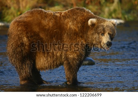 old kodiak brown bear looking for salmon in the river