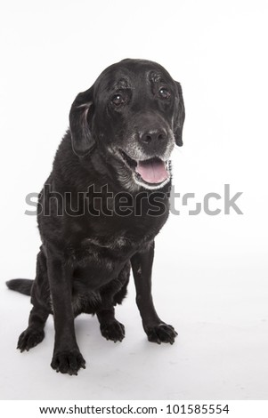 Old labrador retriever, studio isolated on white.