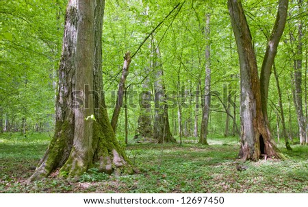 Old linden trees at sumertime Bialowieza Forest stand