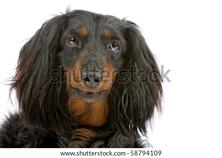 long haired dachshund black and tan. long haired black and tan