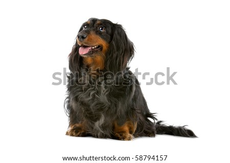 old long haired black and tan dachshund isolated on a white background