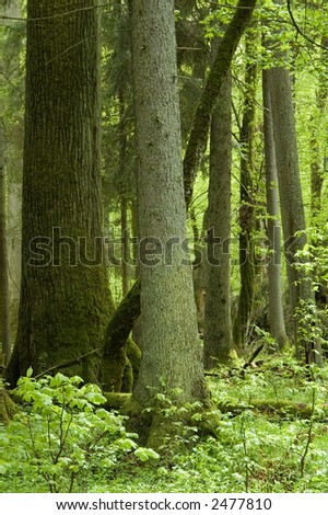 Old  lyme tree and spruce in the mixed natural forest,middle europe,poland,bialowieza forest