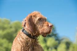 Old Magyar Vizsla dog portrait. Dog is sitting and looking sideways against blue sky
