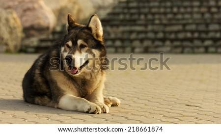 Old malamute dog laying on concrete