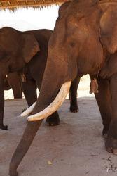 Old male elephant with large tusks, Pine Breeze  Elephant conservation camp near Kalaw Myanmar (Burma)