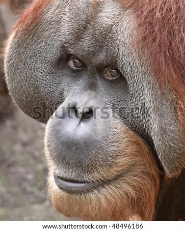 Old male Orangutan 03