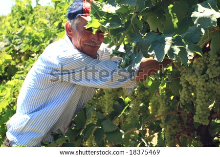 old man working in the vineyard