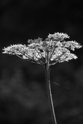 Old mans baccy , Cow Parsley images