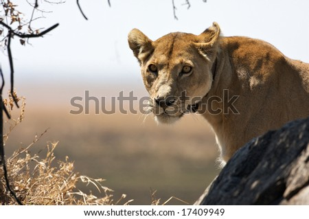 ... mature lioness with the radio transmitter rests on the rock, Serengeti