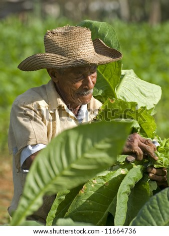 old men working on tobacco field close up