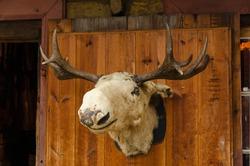Old moose head placed in a wooden door