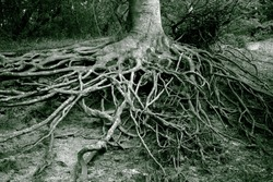 Old mystery roots in a Danish forest. Monochrome image.