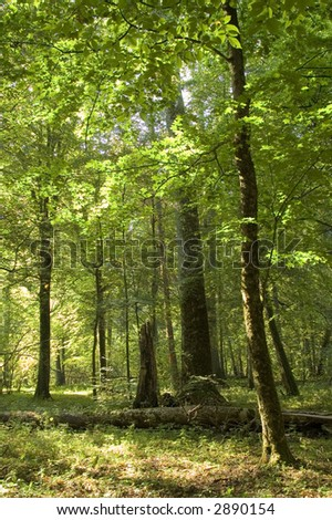 Old natural forest in the early september, Europe,Poland,Bialo wieza Forest - stock photo