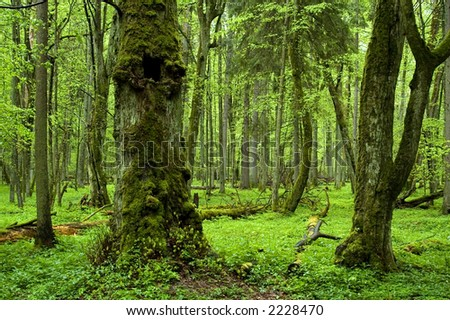 Old natural forest in the spring ,Bialowieza Forest,Europe