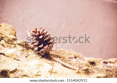old nature wood pine cone fir on stone grunge, background of natural plant, holiday vacation summer #1554042911