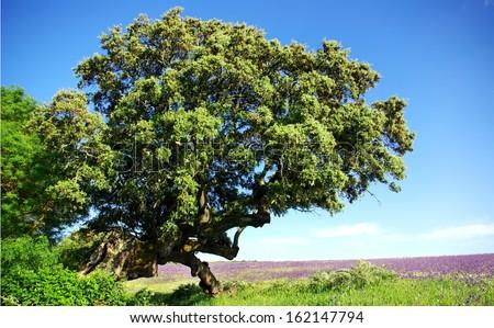 Old oak tree at Porugal field.