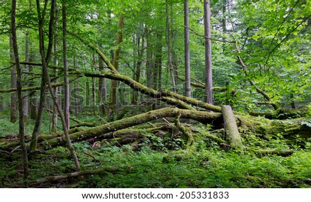 Old oak tree broken lying and old natural deciduous stand of Bialowieza Forest in background - stock photo