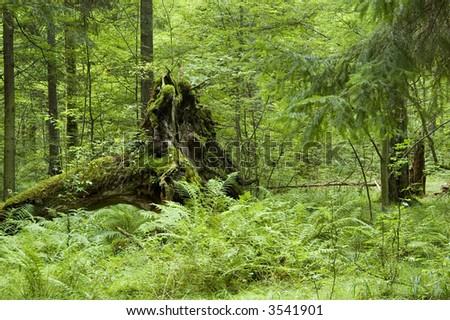 Old oak tree fallen down and ferns in foreground