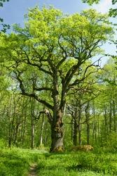 Old oak tree in swedish forest