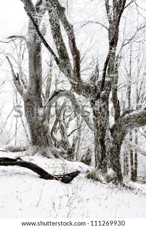 old oak tree in winter forest - stock photo