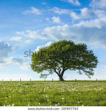Old oak tree on a hill  with dandelion meadow with Blue cloudy Sky at summer in the Eifel germany
