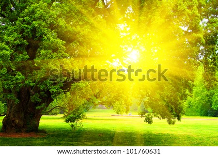 old oak tree with green leaves standing alone in meadow at sunset (sunrise)