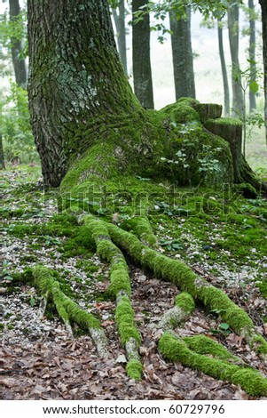 Old  oak tree with mossy roots