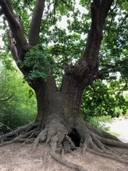 Old Oak tree with the roots in Epping Forest
