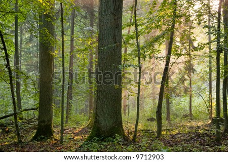 Old oaks in a soft early morning light, deciduous forest