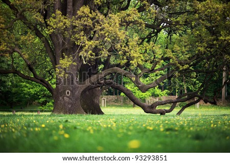 Old oaks in garden