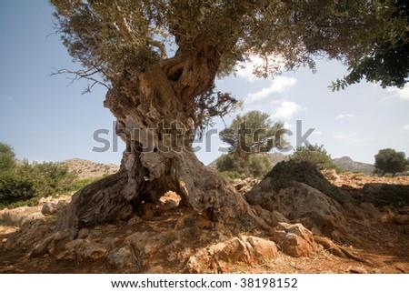 Old olive tree