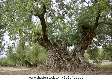 Old olive tree close to Priedo de Cordoba, Andalusia, Spain; in ...