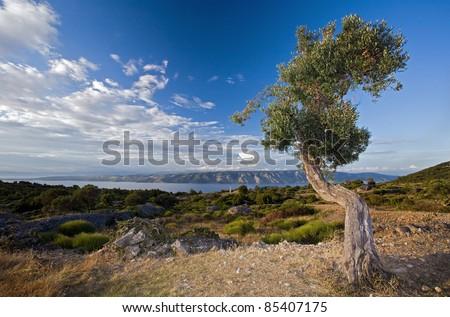 Old Olive tree in the Hvar, Croatia - stock photo
