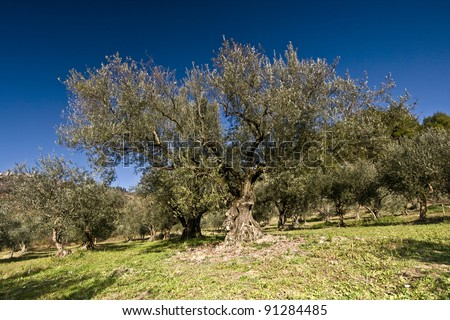 Old olive tree in the olive grove