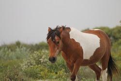 Old paint Chincoteague pony on Assateague Island. Feral Horses of Assateague Island.