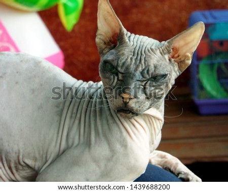 old pedigreed cat breed don Sphinx #1439688200