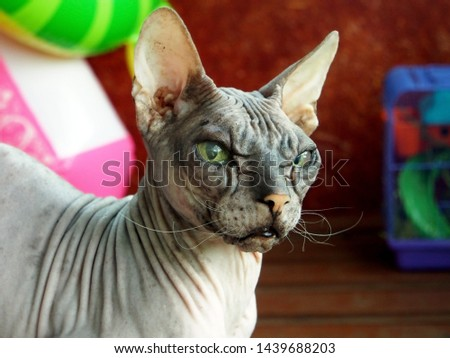 old pedigreed cat breed don Sphinx #1439688203