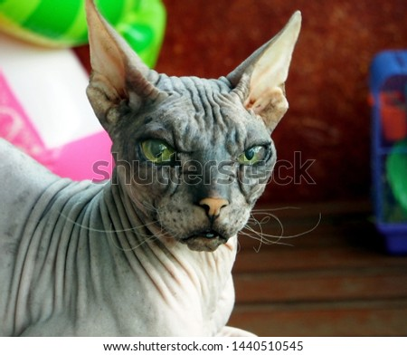 old pedigreed cat breed don Sphinx #1440510545