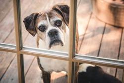 Old Pet Boxer Dog Looking in the Door Window