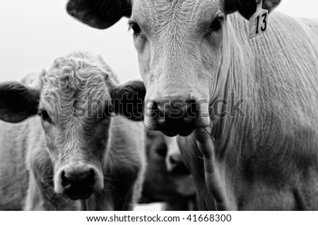 Old Photo of Cow and Calf