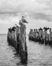 old pier in the sea from withered old wooden stakes with birds. a seagull at the top. black and white