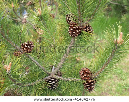 Old pine cones opened when seeds fall out on spring close up.         #414842776